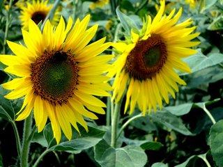 Sonnenblumen - Sonne, Blume, Sommer, gelb, Biene, Sonnenblume, Korbblütler, Blüte