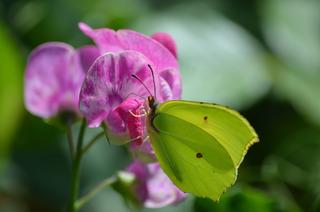 Schmetterling Zitronenfalter #1 - Schmetterling, Tagfalter, Edelfalter, Symmetrie, Gonepteryx rhamni, The Brimstone, Weißling
