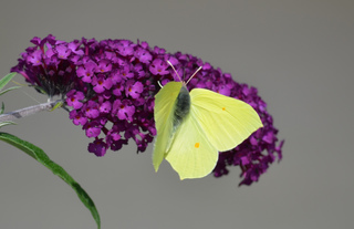 Schmetterling Zitronenfalter #2 - Schmetterling, Tagfalter, Edelfalter, Symmetrie, Gonepteryx rhamni, The Brimstone, Weißling, Schmetterlingsflieder, Sommerflieder