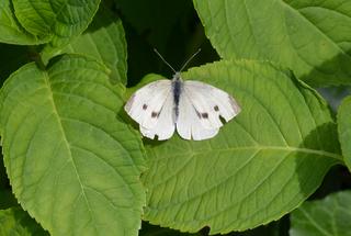 Schmetterling Kleiner Kohlweißling - Schmetterling, Tagfalter, Pieris rapae, Small White, Weißling, Symmetrie