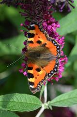 Schmetterling Kleiner Fuchs - Schmetterling, Tagfalter, Nymphalis urticae, Aglais urticae, Small Tortoiseshell, Edelfalter, Flieder, Schmetterlingsflieder, Sommerflieder, Symmetrie