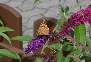 Schmetterling Distelfalter - Schmetterling, Tagfalter, Vanessa cardui, Painted Lady, Edelfalter, Flieder, Schmetterlingsflieder, Sommerflieder, Symmetrie