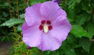Hibiskusblüte #3 - Blume, Blüte, Hibiskus, Eibisch, Malvengewächs, violett, Hibiskusblüte, Blütenblätter, Staubblätter, Stempel, Hibiscus, Malve