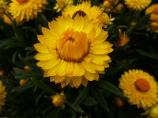 Strohblumen #1 - Strohblumen, Strohblume, Bracteantha, Blume, Pflanze, Blüten, gelb, blühen, Garten