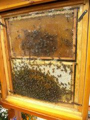 Bienenwabe hinter Schauglas - Biene, Bienen, Wabe, Honig, Imme, Bienenvolk, Bienenstaat, fleißig, Hautflügler, Insekten, Apiformes, Stachel, stechen, Struktur, Ballung
