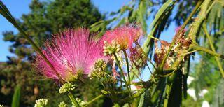 Seidenakazie - Albizia julibrissin ombrella, Seidenakazie, Seidenbaum, Schlafbaum, Mimosengewächs
