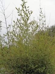 Bambus - Bambus, Gras, Blätter, schlank, grün, Pflanze, Rispen, Blütenrispen, Süßgräser, Halme, Pflanzensymbolik, Rohstoff