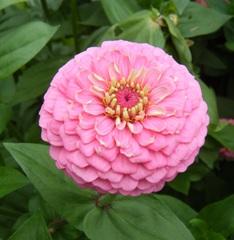 Zinnie - Zinnie, Korbblütler, Zierpflanze, Gartenpflanze