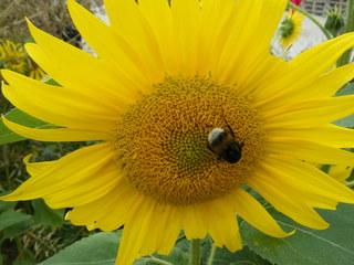 Hummel auf einer Sonnenblume#1 - Hummel, Hautflügler, staatenbildendes Insekt, gelb-braun, Stachel, Drohnen, Arbeiterinnen, Königin