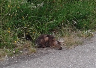 Katze frisst Maus - Katze, Maus, Beute, fangen, jagen, fressen