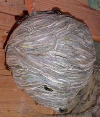 Wespennest  - Wespe, Insekt, Waben, Nestbau, Dunkelhöhlennister