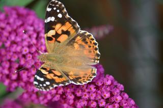 Schmetterling Distelfalter - Nahaufnahme - Schmetterling, Tagfalter, Vanessa cardui, Painted Lady, Edelfalter, Flieder, Schmetterlingsflieder, Sommerflieder, Symmetrie
