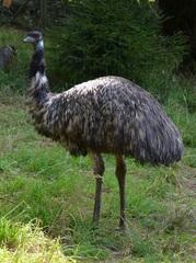 Emu - Vogel, Laufvogel, flugunfähig, Dromaiidae, Dromaius, Urkiefervögel, Australien