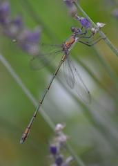 Libelle  gemeine Weidenjungfer - Libelle, Insekt, Lestes viridis, Western Willow Spreadwing, Teichjungfern, Binsenjungfern, Weidenjungefer, Kleinlibelle, Lavendel