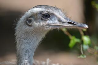 Nandu – Nahaufnahme des Kopfes - Vogel, Laufvogel, flugunfähig, Rhea americana, Südamerika, Urkiefervögel