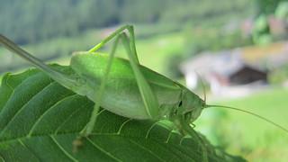 Heuschrecke - Grünes Heupferd, Grashüpfer, Gliederfüßer, Insekt, Hemimetabolie