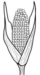 Maiskolben - Mais, Kukuruz, Stängel, Stiel, Kolben, Futter, Tierfutter, Nahrungsmittel, Landwirtschaft, Anbau, Pflanze, Corn, Zeichnung, Anlaut M