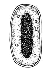 Bakterienzelle - Bakterium, Bakterie, Zellwand, Zellkern, Zellaufbau, DNA