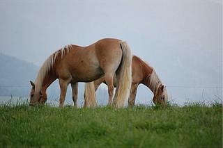 Haflinger - Haflinger, Pferd, blond, genügsam, trittsicher, geländegängig, klein, robust, füttern, Pferde, Pony, Haustier, Huf, Einhufer, zwei