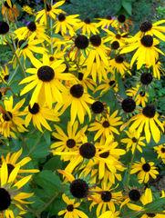 Sonnenhut - Sonnenhut, Blume, Blüte, Sommer, Korbblütler, Aster, Garten, gelb, Echinacea