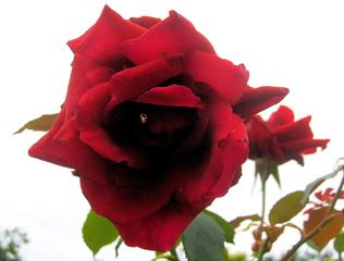 Rose - Rose, Schnittblume, Knospe, Rosengewächs, Naturform, Draufsicht, Rosenblüte, Schnittblume, Blüte, Blütenblätter, Blume, rot