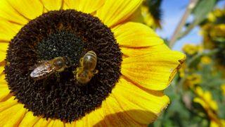 Sonnenblume - Sonnenblume, Blume, Spätsommer, Herbst, Korbblütler, Blüte, gelb, Fruchtstand