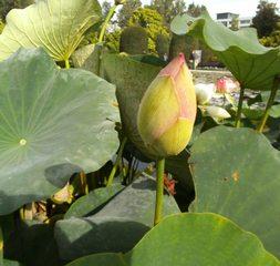 Lotosblume #1 - Lotosblume, Lotos, Blüte, Knospe, Lotosgewächs, Wasserpflanze, Zierpflanze, Symbol, Hinduismus, Buddhismus, Lotoseffekt, Lotuseffekt, Nanostruktur, Adhäsion, Physik