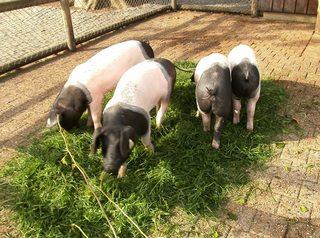 Schwäbisch-Hällisches Landschwein - Schwäbisch-Hällisches Landschwein, Hällisch-Fränkisches Landschwein, Mohrenköpfle, Hausschweinrasse, Hausschwein, Schwein, Sau, vier
