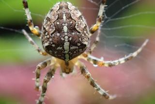Kreuzspinne #2 - Spinne, Kreuzspinne, Tier, Spinnennetz, Webspinne, Radnetzspinne