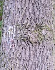 Eiche - Eiche, Rinde, Waldbäume, Baum, Stamm, Bäume, rau, grau, Mythos, gerben, Farbstoff, Gerbstoff, Heilpflanze, Mythologie, Laubbaum