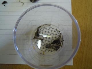 Gewölle untersuchen #2 - Gewölle, Eule, untersuchen, Knochen, Mäuse, Vögel, Schnabel, Beute, Räuber