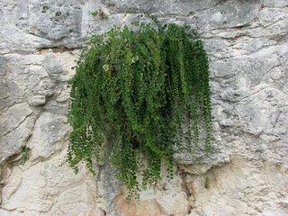 Kapernpflanze - Kapern, Gewürz, Gewürzpflanze, Kaperngewächs, Kapernpflanze