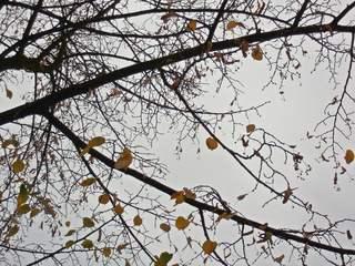 letzte Lindenblätter am Zweig - Herbst, Zweig, Blatt, Blätter, Linde, grau, herbstlich, Impuls, Kunst, Natur, Jahreszeit