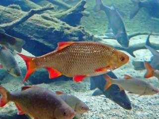 einheimischer Fisch - Rotfeder - Fisch, Fische, Rotfeder, Flosse, Flossen, Schuppen, Wasser, einheimisch, Süßwasser, schwimmen, Weissfisch
