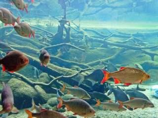 einheimische Süßwasserfische - Wasser, Fisch, Fische, rot, Flossen, Flosse, Schwarm, Schwarmfische, Weissfisch, einheimisch, schwimmen
