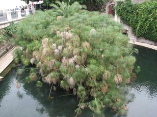Syrakus - Fonte Aretusa (Arethusa-Quelle) # 1 - Syrakus, Arethusaquella, Süßwasser, griechische Sage, Papyrus
