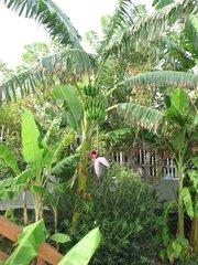Bananenstaude #1 - Banane, Musacea, Bananenbaum, Bananengewächs, einkeimblättrig, immergrün, mehrjährig, krautig, Laubblätter, palmenartig