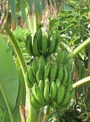 Bananenstaude #2 - Banane, unreif, Unreife, Musacea, Bananenbaum, Bananengewächs, einkeimblättrig, immergrün, mehrjährig, krautig, Laubblätter, palmenartig