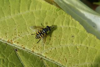 Schwebfliege gebändert - Insekten, Fliege, wespenartig, Syrphidae, Schwebfliege, Fliege, Zweiflügler, Deckelschlüpfer, Fluginsekt, Mimikry, Insekt, Bestäuber