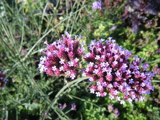 Verbene - Verbene, Zierpflanze, Staudengewächs, Staude, Gartenpflanze, Kübelpflanze, Eisenkrautgewäch