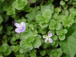 Ehrenpreis - Ehrenpreis, Veronica, einjährige, mehrjährige, Kräuter, blau, Blüten, Heilpflanze, Wegrand
