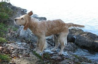 Nasser Hund #3 - Hund, Haustier, Hunderasse, Golden Retriever, nass, schwimmen, schütteln, abschütteln, Fliehkraft