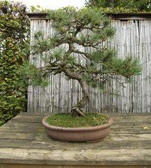 Bonsai #1 - Bonsai, Gartenkunst, Wuchsbegrenzung, fernöstlich, Formschnitt, Wurzelschnitt, Blattschnitt, Drahtung