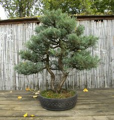Bonsai #2 - Bonsai, Gartenkunst, Wuchsbegrenzung, fernöstlich, Formschnitt, Wurzelschnitt, Blattschnitt, Drahtung