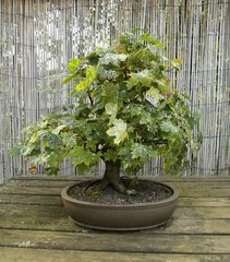 Bonsai #5 - Bonsai, Gartenkunst, Wuchsbegrenzung, fernöstlich, Formschnitt, Wurzelschnitt, Blattschnitt, Drahtung