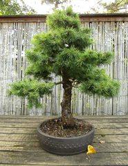 Bonsai #6 - Bonsai, Gartenkunst, Wuchsbegrenzung, fernöstlich, Formschnitt, Wurzelschnitt, Blattschnitt, Drahtung