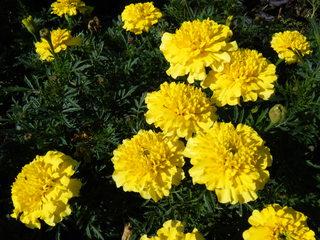 Tagetes - Tagetes, Studentenblume, Sammetblume, türkische Nelke, Totenblume, Korbblütler, Sommerblume, Gartenpflanze, Balkonpflanze, Zierpflanze, Gelb-Pigment, Lutein