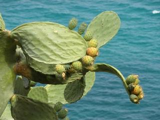 Kaktusfeigen_Opuntia - Pflanzen, Kakteen, Kaktus, Opuntien, Kaktusfeigen