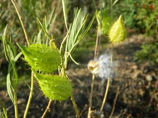 Baumwoll-Seidenpflanze#2 - Pflanze, Baumwolle, Seidenpflanze, Balgfrucht