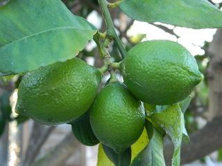 grüne Zitronen - Pflanze, Nutzpflanze, Zierpflanze, Zitrone, Nahrungsmittel, Mittelmeerraum, Zitruspflanze, grün, Zitrufrüchte